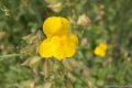 Seep Monkeyflower