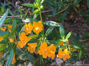 Orange Bush Monkeyflower